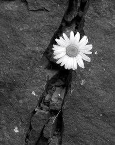Flower-in-Rock
