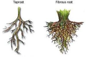 rootsys