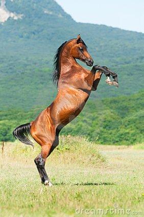 bay-arabian-stallion-rearing-16017521